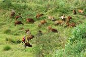 People Herd A Flock Of Oxen (cows) On Grassland