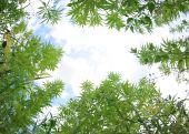 Field Of Cannabis