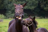 Talking horse with foal
