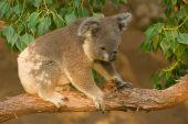 Koala Joey On Branch