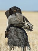 image of pintail  - A Hunters dog with a drake Pintial - JPG