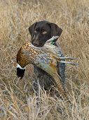 stock photo of rooster  - A Hunting dog with a rooster pheasant
