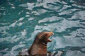 Screaming Sea Lion