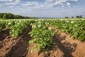 Potatoes plants growing in a field in rural Prince Edward Island.