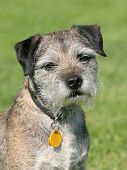 stock photo of border terrier  - Very old Border Terrier in a garden - JPG