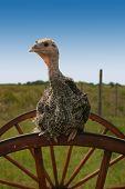 Turkey On Wheel