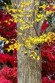 stock photo of elm  - Bright yellow elm leaves superimposed on a background of vivid red fall Japanese Maple leaves - JPG