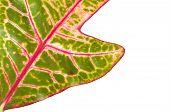 Croton-Pflanze
