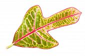 stock photo of crotons  - Croton plant leaves isolated on a background - JPG