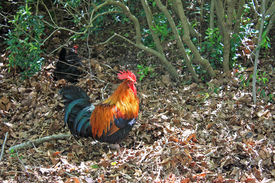 foto of coxcomb  - Cock hen foraging free range in the bushes  - JPG