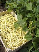 harvest of beans