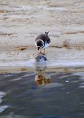 Semi Palmated Plover Reflection