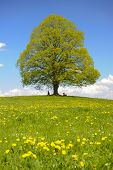 image of linden-tree  - single big linden tree in Bavaria at spring - JPG