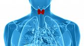 stock photo of respiratory disease  - Male thyroid gland anatomy in x - JPG