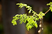 stock photo of moringa  - Looking at young moringa tree with small leaves used for alternative medicine and supplements - JPG
