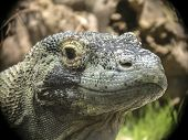 foto of komodo dragon  - The komodo Dragon is a giant lizard from the Indonesian islands - JPG