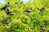 Juvenile Frigate Birds