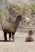 Mother / Baby Alpacas - Vicugna pacos