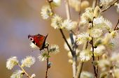 Butterfly on a blooming willow.