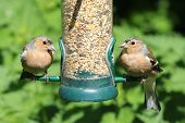 two chaffinch birds feeding from feeder