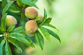Peach Tree Fruits Ripening