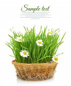 Wheatgrass and chamomile in wicker basket isolated on white