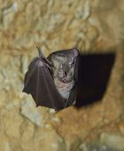 Bat (Rhinolophus hipposideros) - Lesser Horseshoe Bat