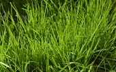 Long Green Grass