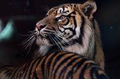 Sumatran Tiger with long whiskers