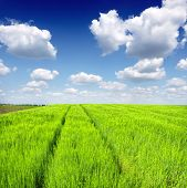 picture of fall-wheat  - green wheat field and blue cloudy sky - JPG