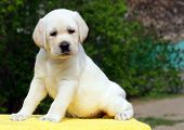 Labrador Puppy On The Yellow Background