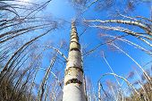 Birch Tree Forest Over Blue Sky Via Fisheye