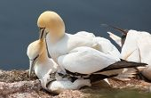 northern gannet couple