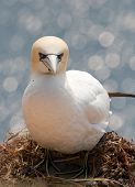 pic of gannet  - A northern gannet breeding on a nest