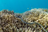 stock photo of garden snake  - Poisonous sea snake Laticauda colubrina swimming among hard corals in Philippines - JPG