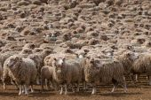 A Heard Of Sheep In Patagonia