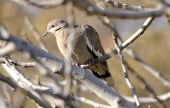 White Winged Dove In Fig Tree