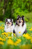 stock photo of sheltie  - sheltie and rough collie dogs outdoors in summer - JPG