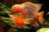 Fish Redheaded Cichlid