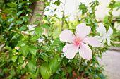 Hibiscus Rosa Sinensis Is Pink Flower