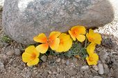 Boulder Vs Poppies