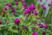 Amaranth Purple Beauty