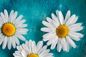 Beautiful daisies floating in bright turquoise water