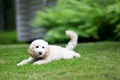 Miniature poodle having fun outdoors
