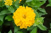 picture of zinnias  - yellow zinnias flower blooming in garden - JPG