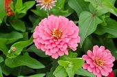 stock photo of zinnias  - pink zinnias flower blooming in garden - JPG