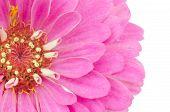 Pink zinnia petals