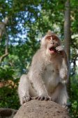 crab-eating macaque or long-tailed macaque or macaca fascicularis
