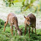 tow young cute Nyala angasii or Tragelaphus angasii native in africa