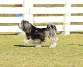 pic of sm  - A profile view of a black gray and white petit chien lion (little lion dog) walking on the grass. Lowchen has a long wavy coat groomed to resemble a lion i.e. the haunches back legs and part of the tail are shaved.